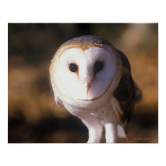 'Close-up of Barn Owl, Land Between Lakes, KY' Poster