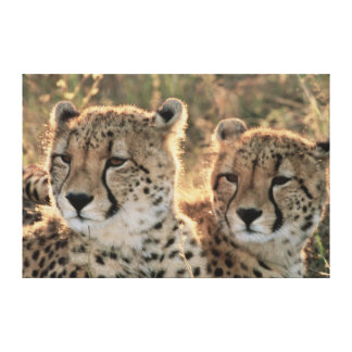 Close-up of Cheetahs Canvas Print