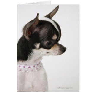 Close-up of Chihuahua, side view Card