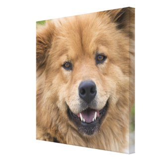 Close up of chow mix dog outdoors. canvas prints