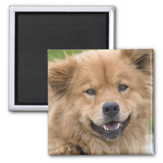 Close up of chow mix dog outdoors. magnet