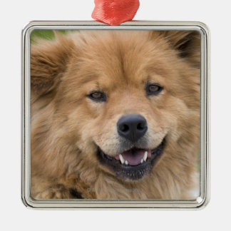 Close up of chow mix dog outdoors. Silver-Colored square decoration