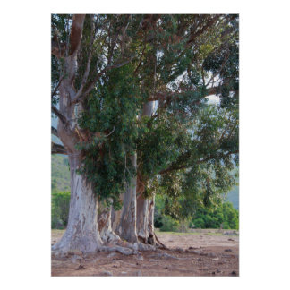 Close-up of eucalyptus trees poster