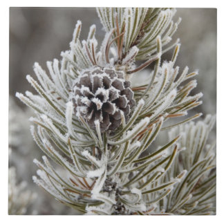 Close-up of frozen pine cone, Yellowstone Tile