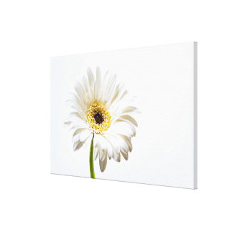 Close up of Gerbera flower head Stretched Canvas Print