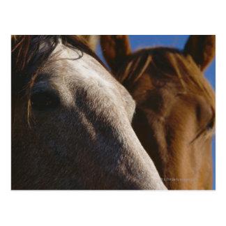 Close Up of Horses Postcard
