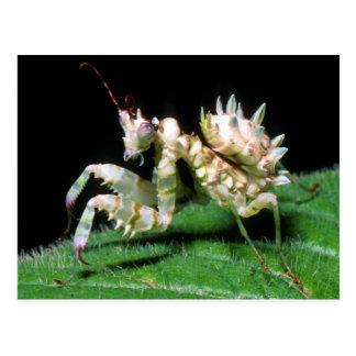 Close-Up Of Hottentot Mantis Postcard