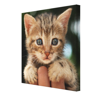 Close Up Of Kitten Gallery Wrap Canvas