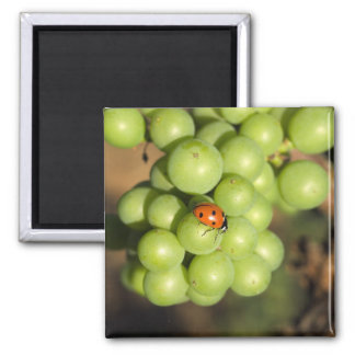 Close up of lady bug on green Pinot Noir grapes Refrigerator Magnets