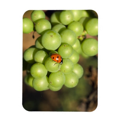 Close up of lady bug on green Pinot Noir grapes Magnets
