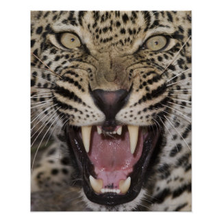 Close up of leopard growling poster