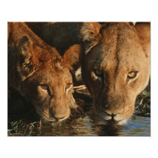 Close up of Lioness (Panthera leo) and cub Poster