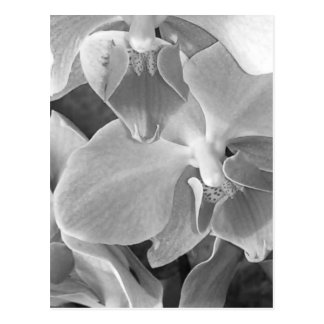 Close up of orchid blossoms in gray scale postcard