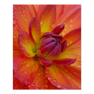 Close-up of petals at the center of a dahlia poster