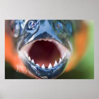 Close-Up Of Piranha, Iquitos, Maynas, Peru Poster