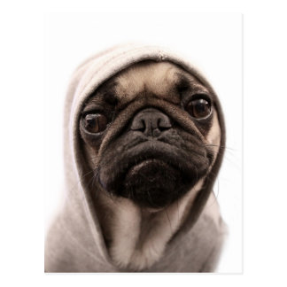 Close up of pug wearing hoodie. postcard