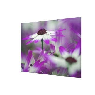 Close-up of purple flower, Keukenhof Garden, Stretched Canvas Prints
