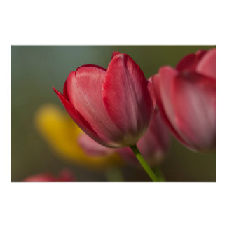 Close-up of red and yellow tulips in garden poster