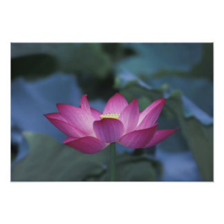 Close-up of red lotus flower and green leaves, poster