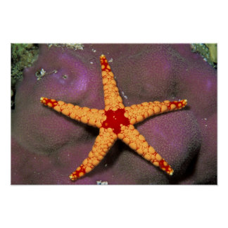 Close up of starfish, or fromia monilis. poster