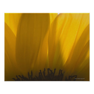 Close-up of sunflower petals poster