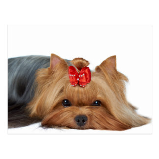 Close-up of Yorkshire terrier's muzzle Postcard