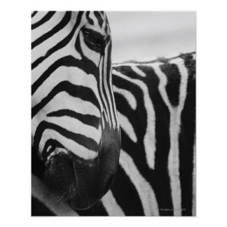 Close-up of zebra face and shoulder poster
