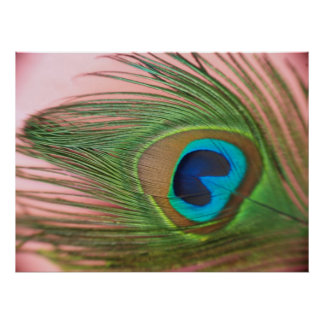 Close Up Peacock Feather with Pink Poster