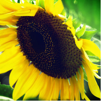Close Up Photo of a Sunflower Standing Photo Sculpture