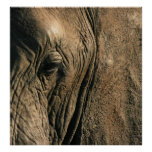 Close-up photo of African elephant eye Posters