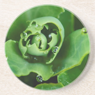 Close-up, succulent plant with water droplets coasters