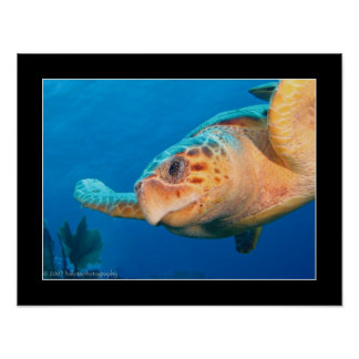 Close Up Turtle in Belize Poster