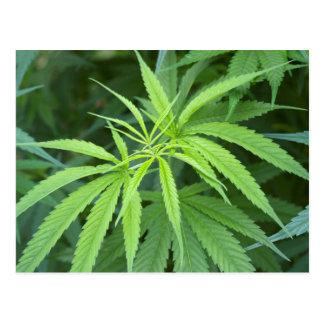 Close-Up View Of Marijuana Plant, Malkerns Postcard