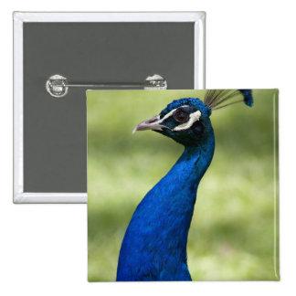 Close-up view of Peacock, Botanical Gardens, 15 Cm Square Badge