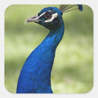 Close-up view of Peacock, Botanical Gardens, Square Sticker