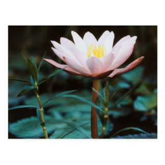 Close-Up view of Water Lily at Inle Lake Postcard
