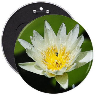 Close-up White Water Lily Flower and Bee Button