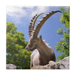 Closeup Alpine ibex Ceramic Tile