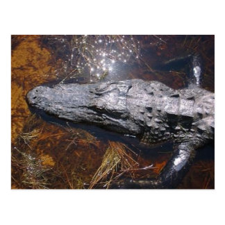 Closeup Florida Alligator Postcard
