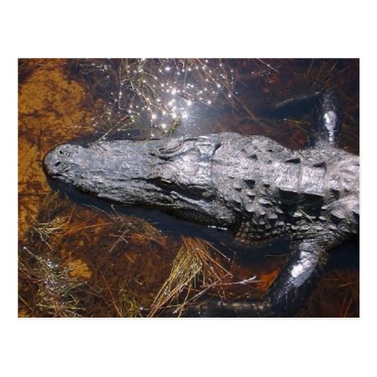 Closeup Florida Alligator Postcard