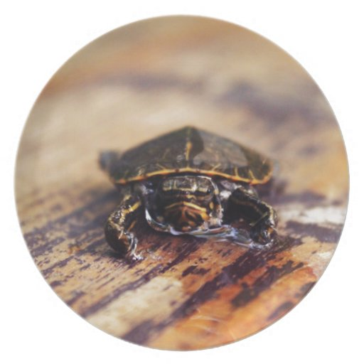 Closeup of a Baby Painted Turtle Plates