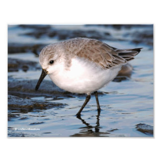 Closeup of a Busy Sanderling Photographic Print