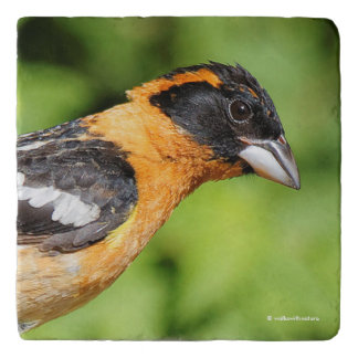 Closeup of a Handsome Black-Headed Grosbeak Trivet