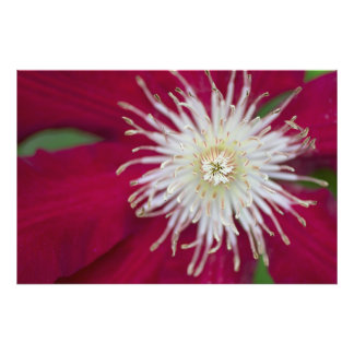 Closeup of a red-violet Clematis flower Photograph