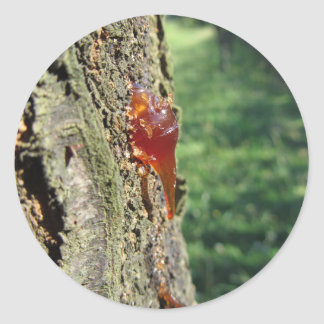 Closeup of pear tree excretion of gummy resin classic round sticker