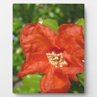 Closeup of red pomegranate flower plaque