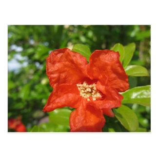 Closeup of red pomegranate flower postcard