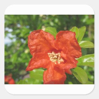 Closeup of red pomegranate flower square sticker