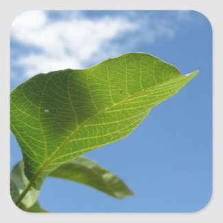 Closeup of walnut leaf lit by sunlight square sticker
