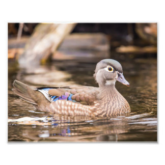 Closeup of Wood Duck Photography Print Photographic Print